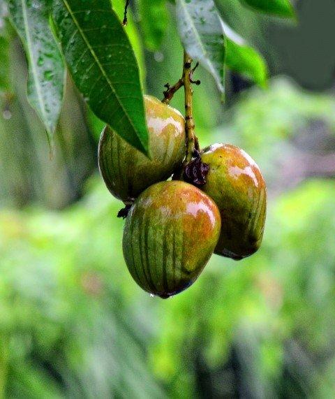 Mango tüm kanser türlerini önler