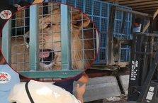 Hayvanlar savaştan kurtarıldı