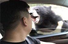 Arabasının camını açınca ayı ısırdı