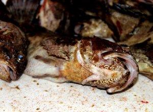 Kıyı balıkçılarının vazgeçilmezi: İskorpit balığı