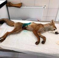 İstanbul'da bulunan yaralı tilki tedavi altına alındı