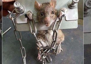 Yakaladığı fareye böyle işkence yaptı