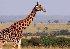 Zürafaların nesli tükeniyor